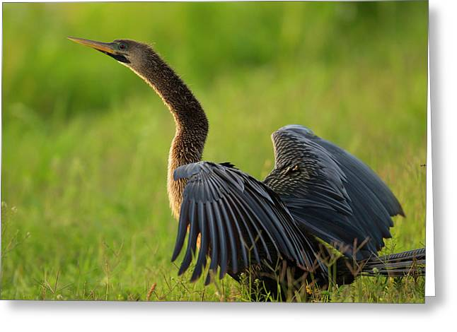 Female Anhinga Drying Out Wings Greeting Card