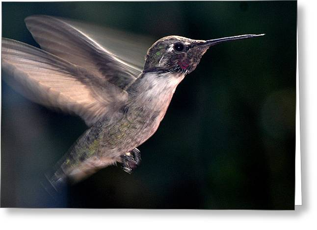 Greeting Card featuring the photograph Male Anna In Flight by Jay Milo