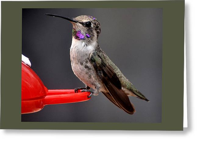 Greeting Card featuring the photograph Female Anna's Hummingbird On Perch Posing For Her Supper by Jay Milo