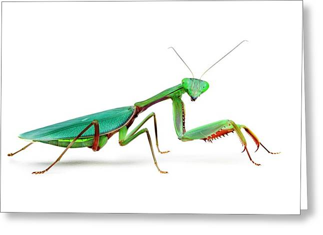 Female Australian Giant Rainforest Mantis Greeting Card by Alex Hyde