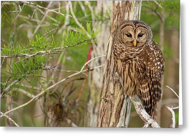 Female Barred Owl (strix Varia Greeting Card by Chuck Haney