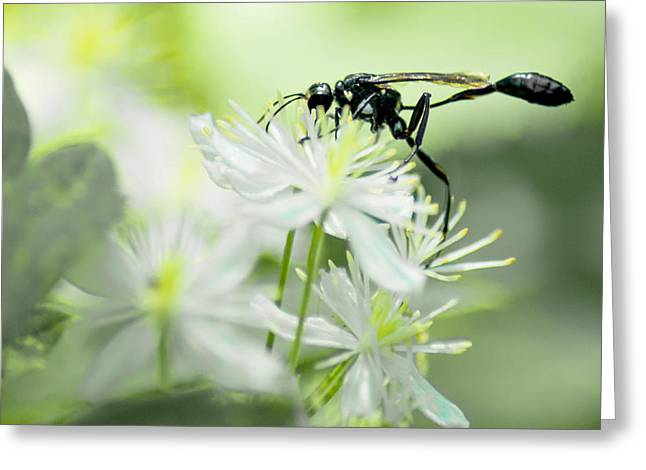 Female Black Mud Dauber Greeting Card by Optical Playground By MP Ray