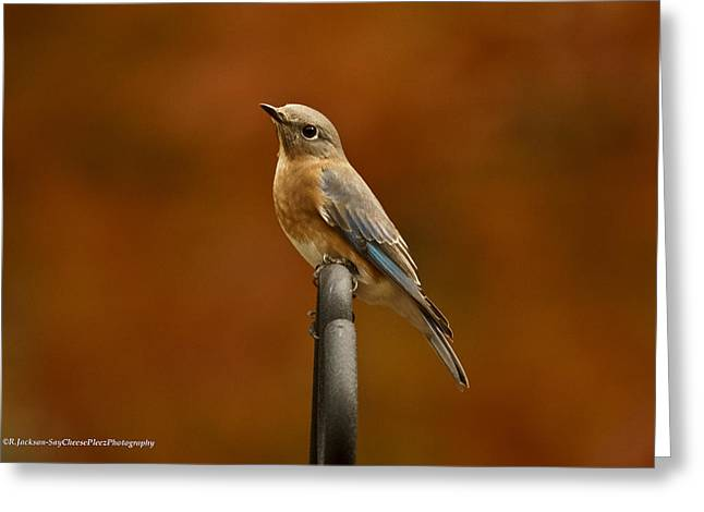 Female Bluebird Greeting Card
