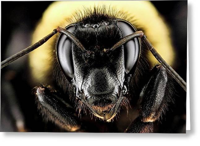 Female Bumblebee Greeting Card