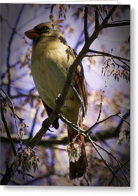 Female Cardinal Greeting Card by Barry Jones