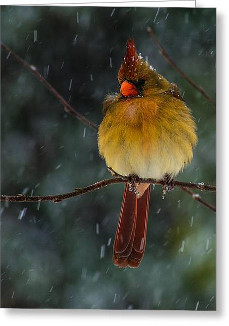 Female Cardinal In A Storm  Greeting Card