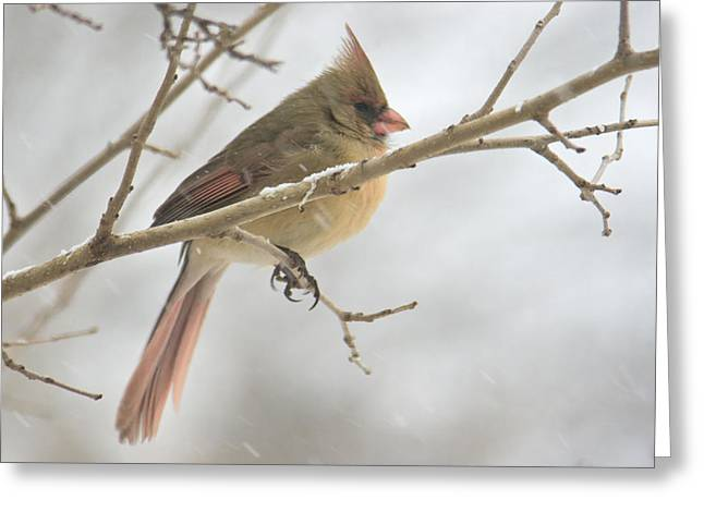 Female Cardinal In Snow 02 Greeting Card by Shelly Gunderson