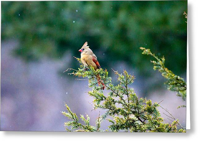 Greeting Card featuring the photograph Female Cardinal In Snow by Eleanor Abramson