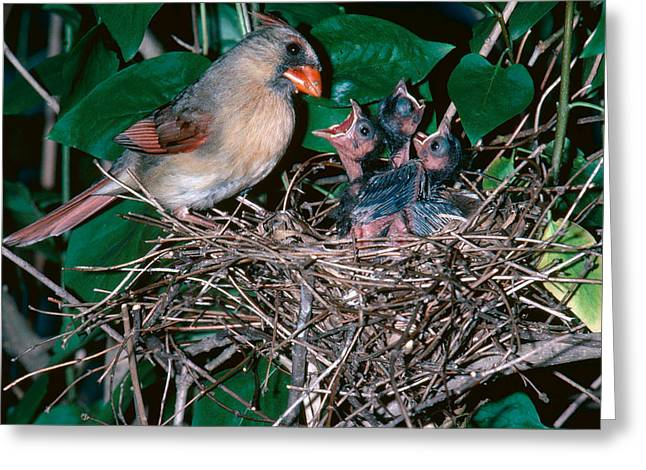 Female Cardinal With Young Greeting Card