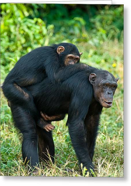 Female Chimpanzee Pan Troglodytes Greeting Card by Panoramic Images