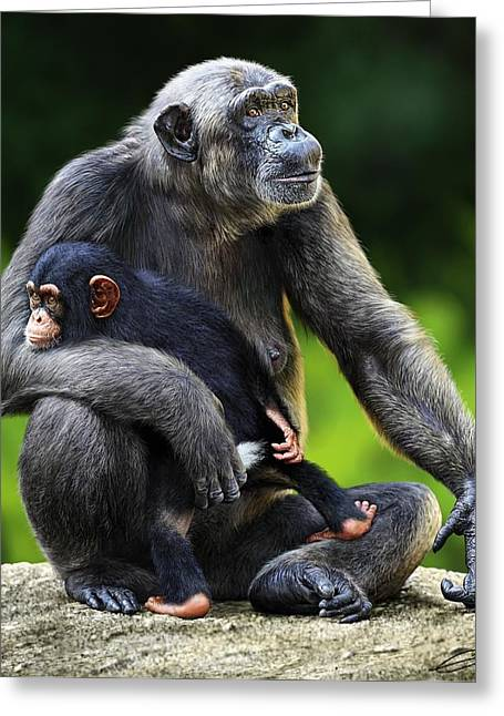 Female Chimpanzee With Young Greeting Card by Owen Bell