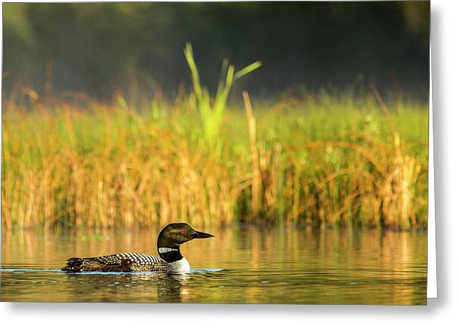 Female Common Loon With Newborn Chick Greeting Card