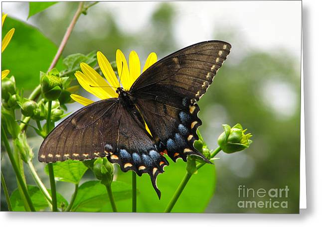 Greeting Card featuring the photograph Female Dark Form Swallowtail Butterfly  by Eva Kaufman