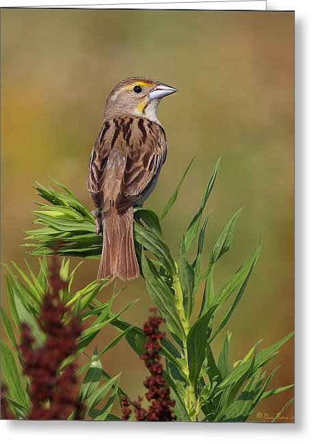 Female Dickcissel Greeting Card by Daniel Behm