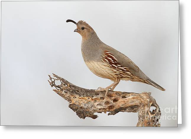 Female Gambel's Quail Greeting Card