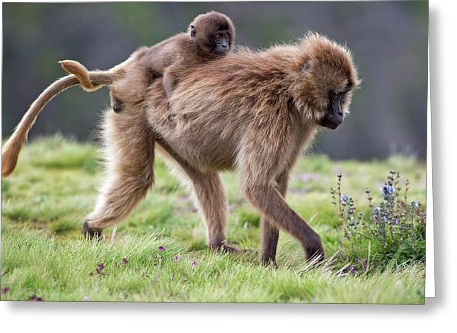 Female Gelada Baboon Carrying Her Infant Greeting Card by Tony Camacho