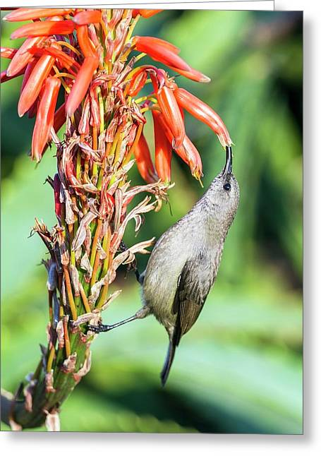 Female Greater Double-collared Sunbrid Greeting Card by Peter Chadwick