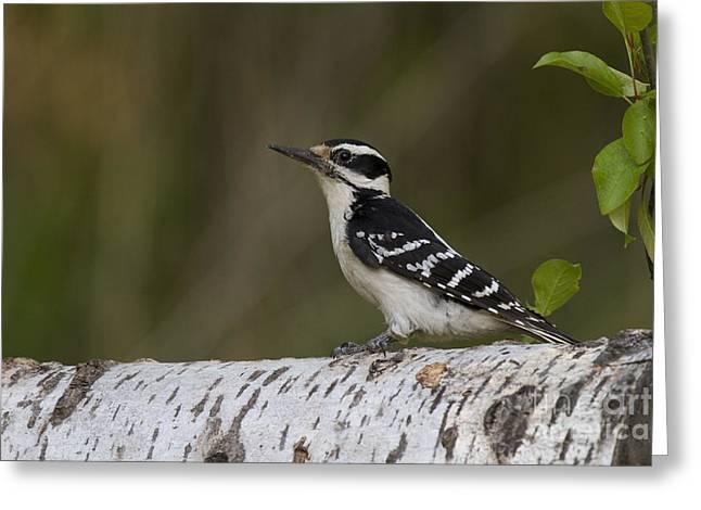 Female Hairy Woodpecker Greeting Card by Linda Freshwaters Arndt