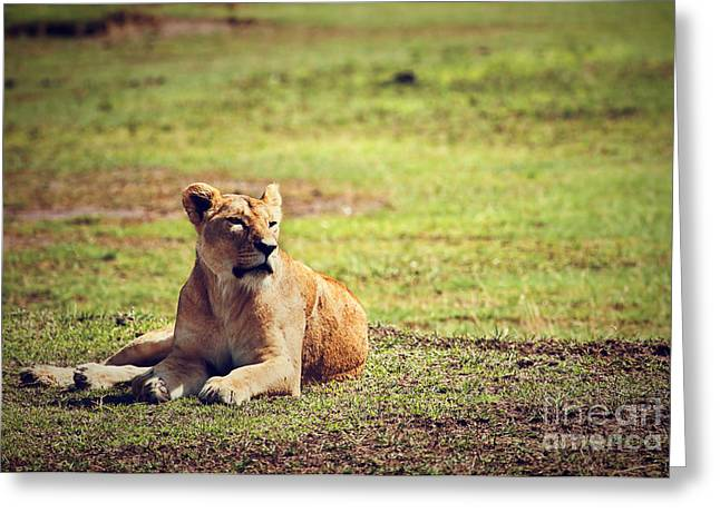 Female Lion Lying. Ngorongoro In Tanzania Greeting Card by Michal Bednarek