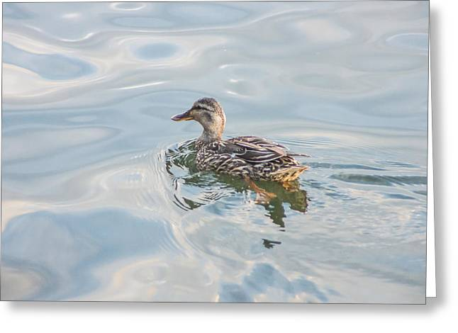 Female Mallard Duck On A Glassy Lake Greeting Card
