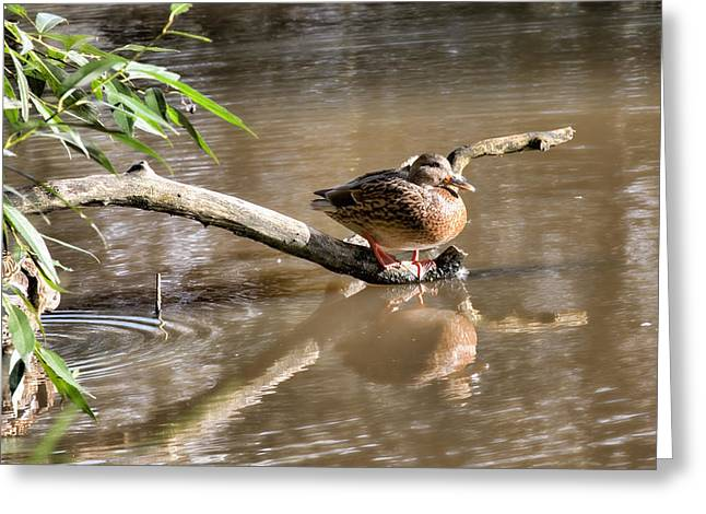 Female Mallard Duck Sitting On A Log Near  And Reflected In Water Greeting Card