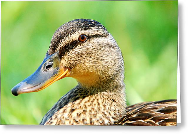 Female Mallard Greeting Card