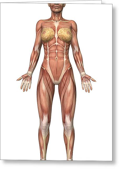 Female Muscular System, Front View Greeting Card by Stocktrek Images