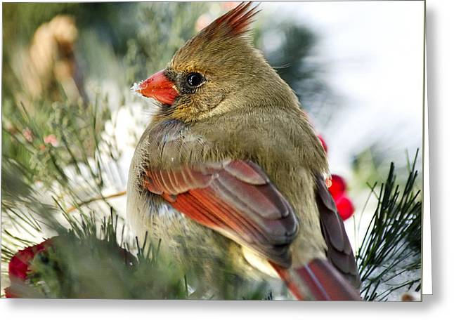 Female Northern Cardinal Square Greeting Card by Christina Rollo
