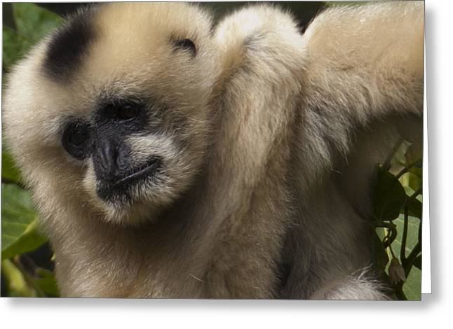 Female Northern White Cheeked Gibbon Greeting Card