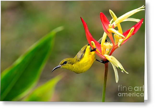 Female Olive Backed Sunbird Clings To Heliconia Plant Flower Singapore Greeting Card