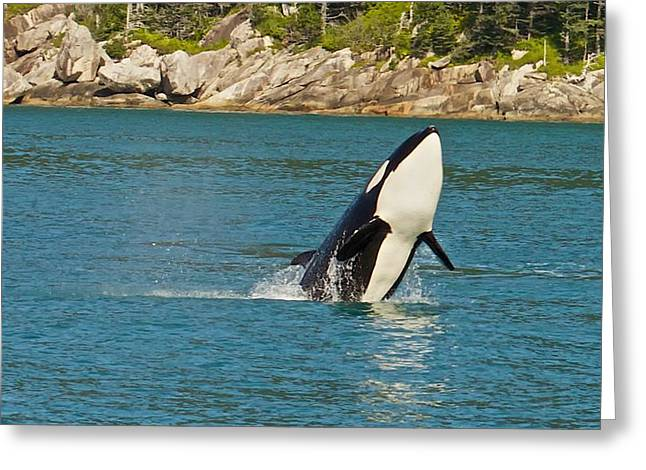 Female Orca Cheval Island Alaska Greeting Card