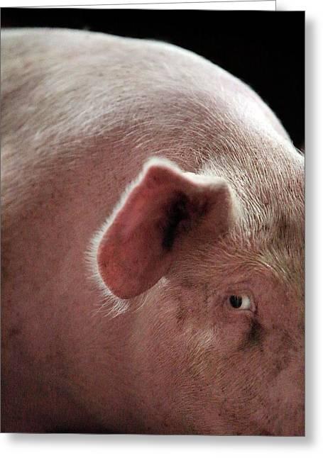 Female Pig Greeting Card