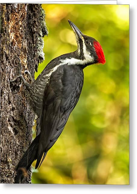 Female Pileated Woodpecker No. 2 Greeting Card by Belinda Greb