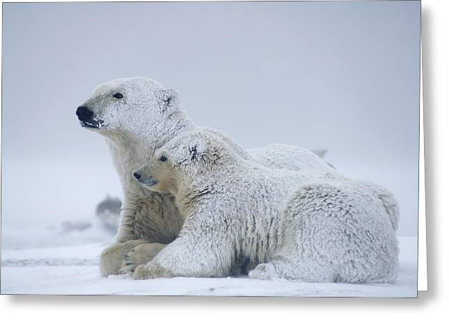 Female Polar Bear Resting With Her Two Greeting Card by Steven Kazlowski