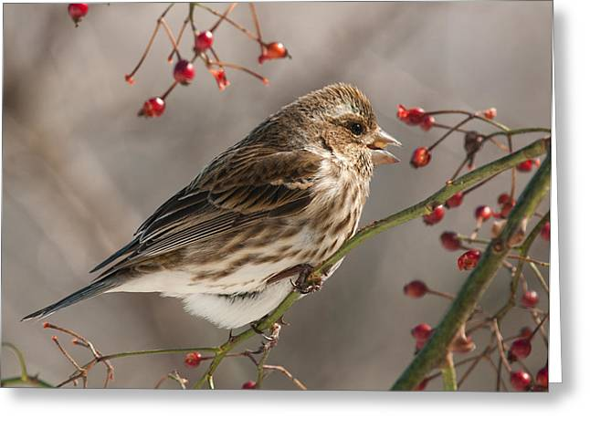 Greeting Card featuring the photograph Female Purple Finch On Berries by Lara Ellis