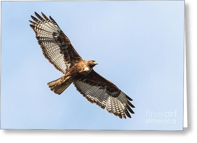 Female Red-tailed Hawk Greeting Card by Carl Jackson