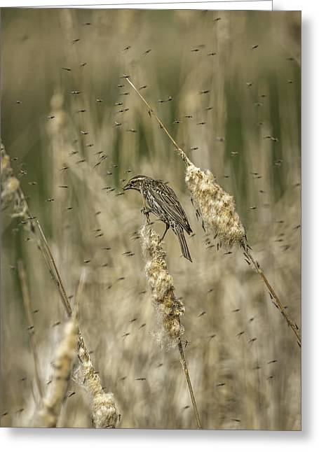 Female Red-winged Black Bird Feeding Greeting Card by Thomas Young