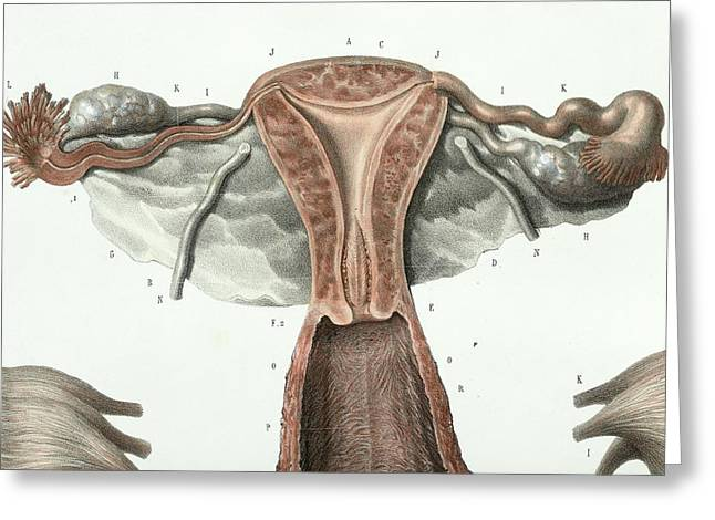 Female Reproductive System Greeting Card