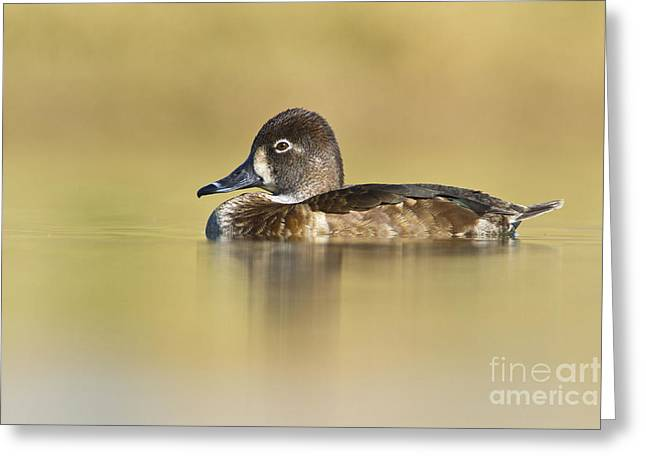 Female Ring Necked Duck Greeting Card by Bryan Keil