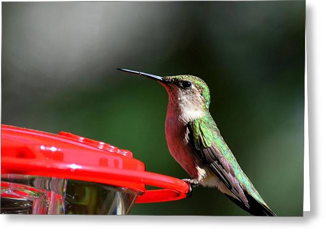 Female Ruby Throat At Feeder Greeting Card
