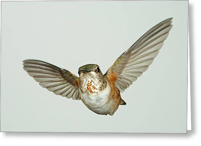 Female Rufous Hummingbird With Sequins Greeting Card by Gregory Scott
