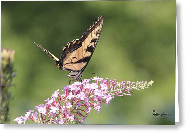 Female Tiger Butterly-1-featured In Macro-comfortable Art And Newbies Groups Greeting Card by EricaMaxine  Price