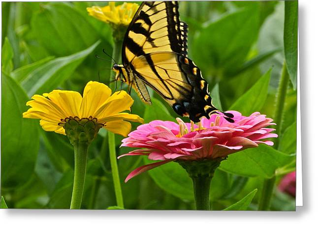 Female Tiger Swallowtail Butterfly With Pink And Yellow Zinnias Greeting Card