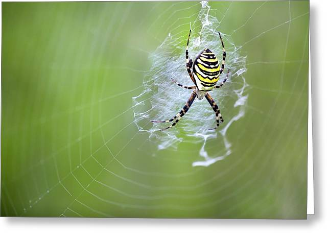 Female Wasp Spider Greeting Card