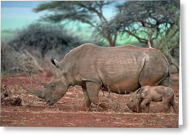 Female White Rhino With Calf Greeting Card