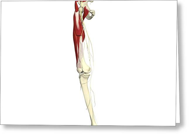 Femoral Nerve Greeting Card by Medical Images, Universal Images Group