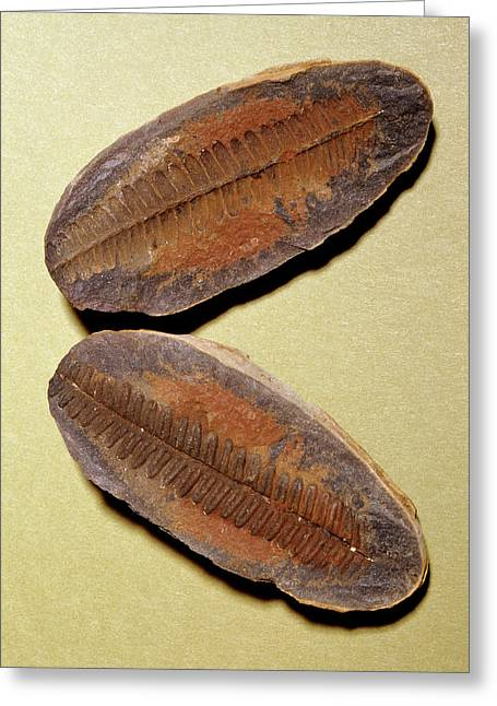 Fern Fossil (pecopteris Sp.) Greeting Card by M P Land/science Photo Library