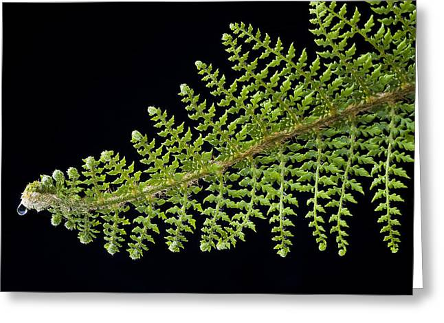 Greeting Card featuring the photograph Fern With Raindrop 2 by Trevor Chriss