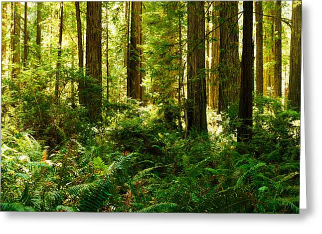 Ferns And Redwood Trees In A Forest Greeting Card by Panoramic Images