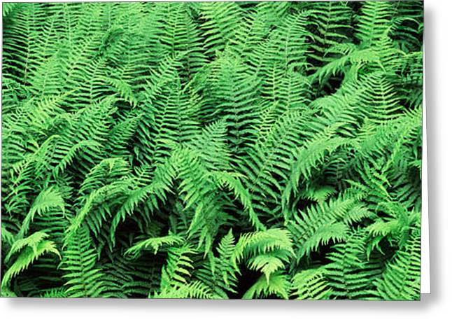 Ferns In A Forest, Adirondack Greeting Card by Panoramic Images